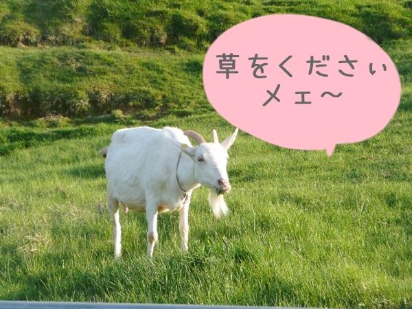 ヤギが草を乞うてる様子