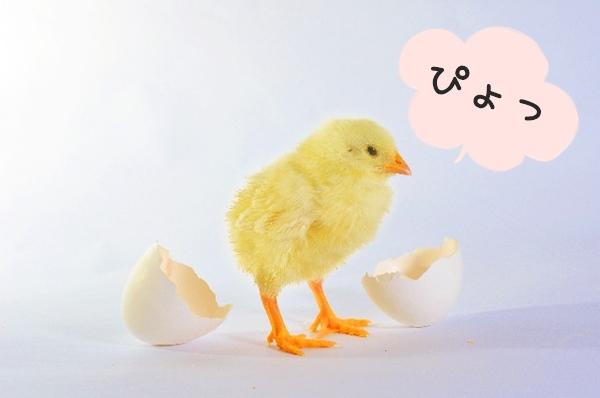 卵から産まれたひよこ