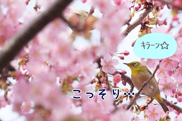 桜の木にとまっているメジロ